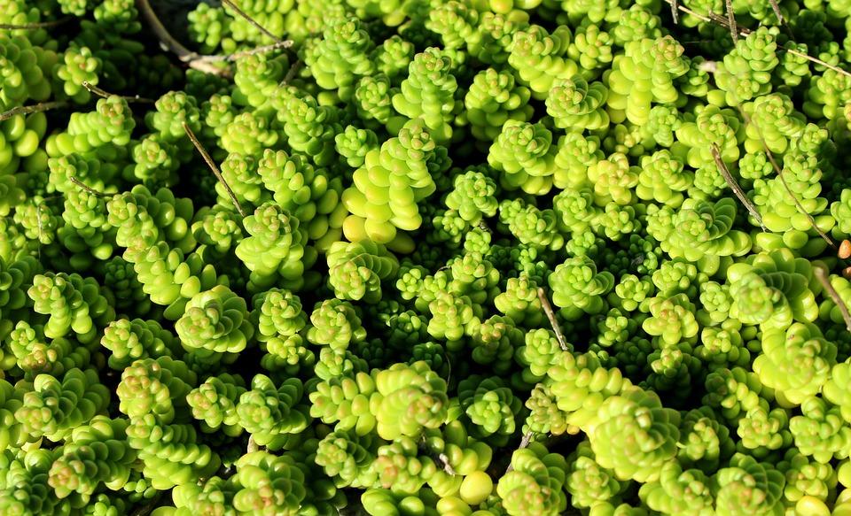 Sedum, Succulenten, Plant, Green, Natuur, Figuur