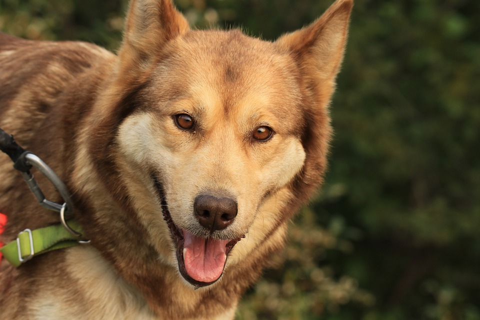 Собака, Ездовая Собака, Портрет, Аляска, Денали
