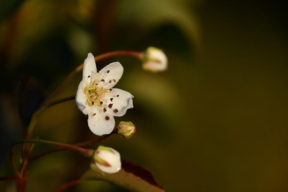 Pear Tree Bloem, Perenboom In Bloei In September