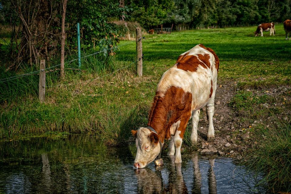 картинки коров в воде постеры, которые