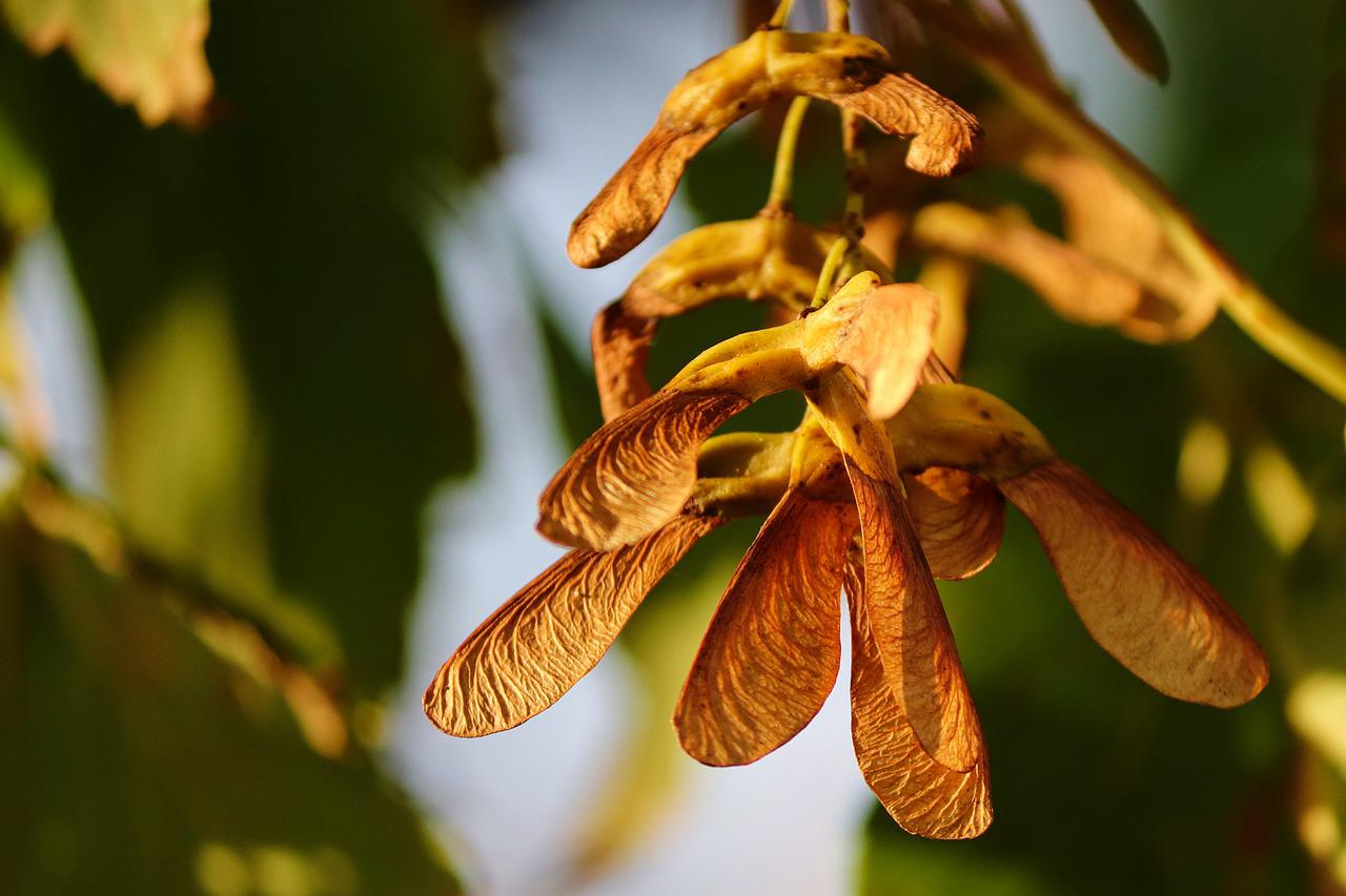 Семена деревьев картинки