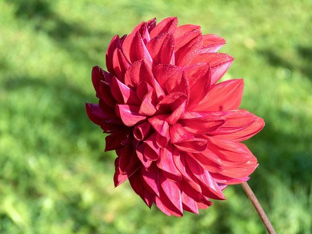Dahlia, Flower, Rosa, Red, Bloom, Flora, Nature, Summer