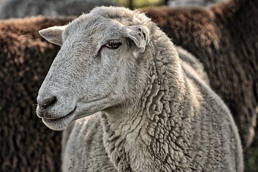 Sheep, Farm, Animal, Wool, Pasture