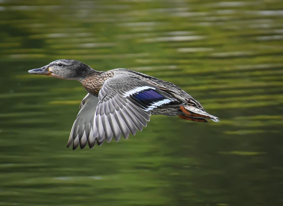 Germano Reale, Drake, Volante, Acqua Uccello
