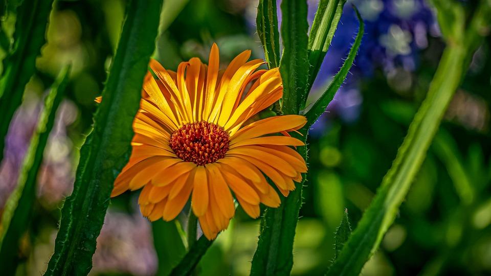 Fiore, Giallo, Natura, Impianto, Petali, Giardino