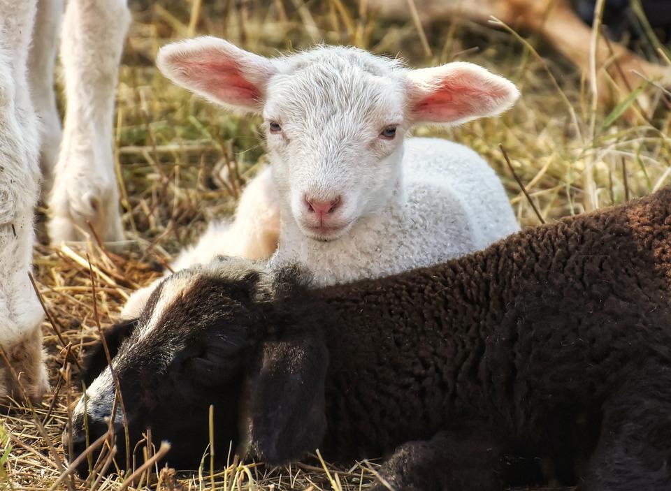 Pecore, Agnello, Lana, Animali, Fattoria