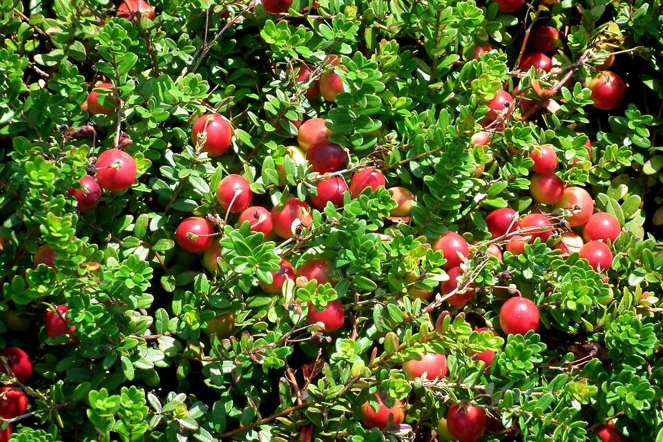 О сроках сбора ягод в лесах