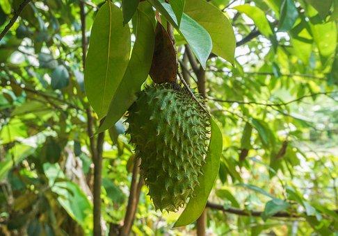 Fruits, Corossol, Arbre, Plantes