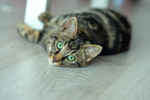 Gato Doméstico, Estampado De Gato