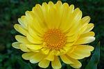 nagietek, kwiat, żółty