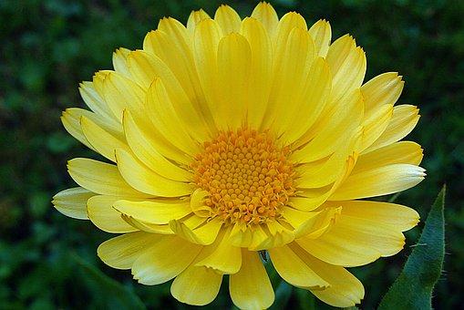 マリーゴールド, 花, 黄色, 晴れた, 花びら, ネイチャー, 薬用植物