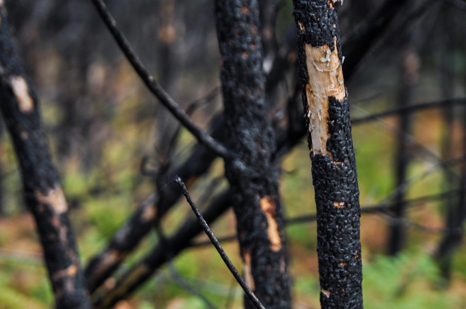 Trees, Forest, Burnt, Fire, Forest Fire, Nature