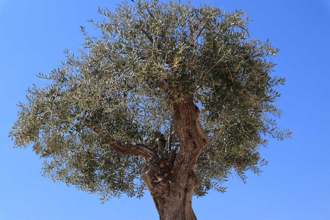 олива дерево фото рисунок прибытия самолета