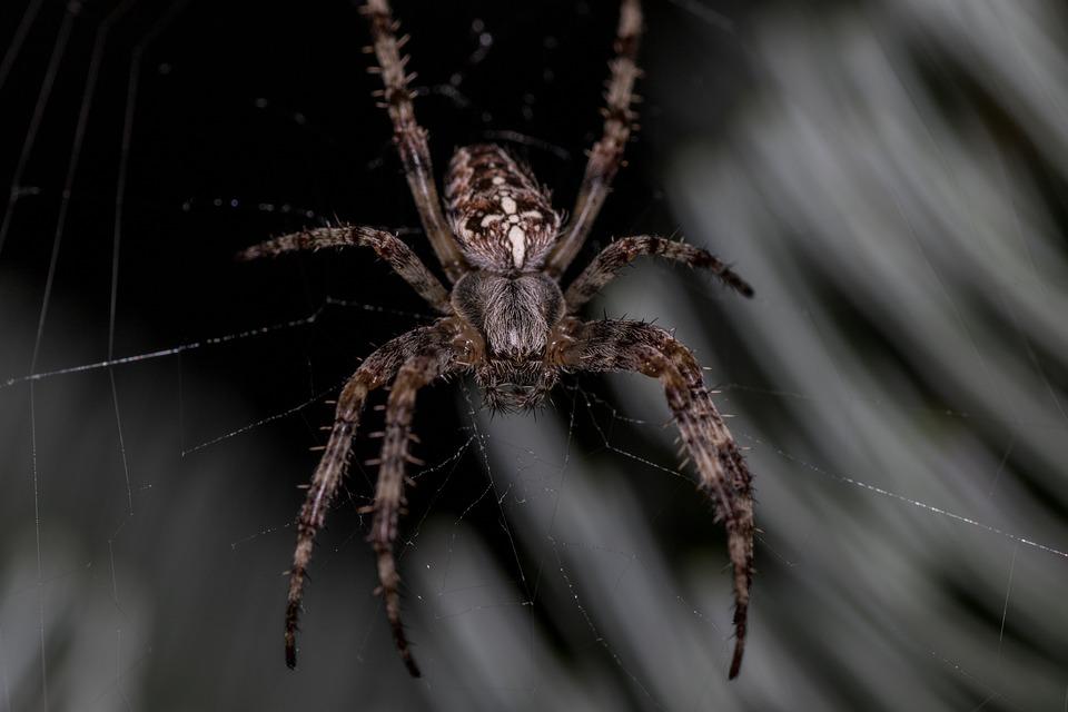 Ragno, Araneus, Ragnatela, Animale, Da Vicino, Web