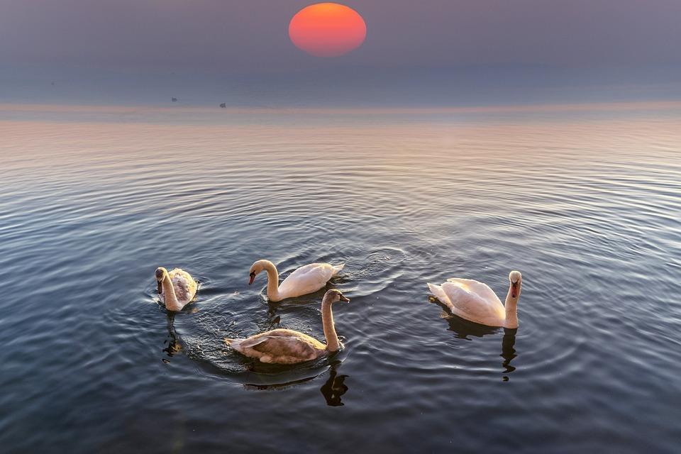 Swans Fantasy Art Free Photo On Pixabay