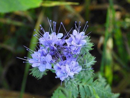 Verbena, Planta, Azul, Otoño, Campo