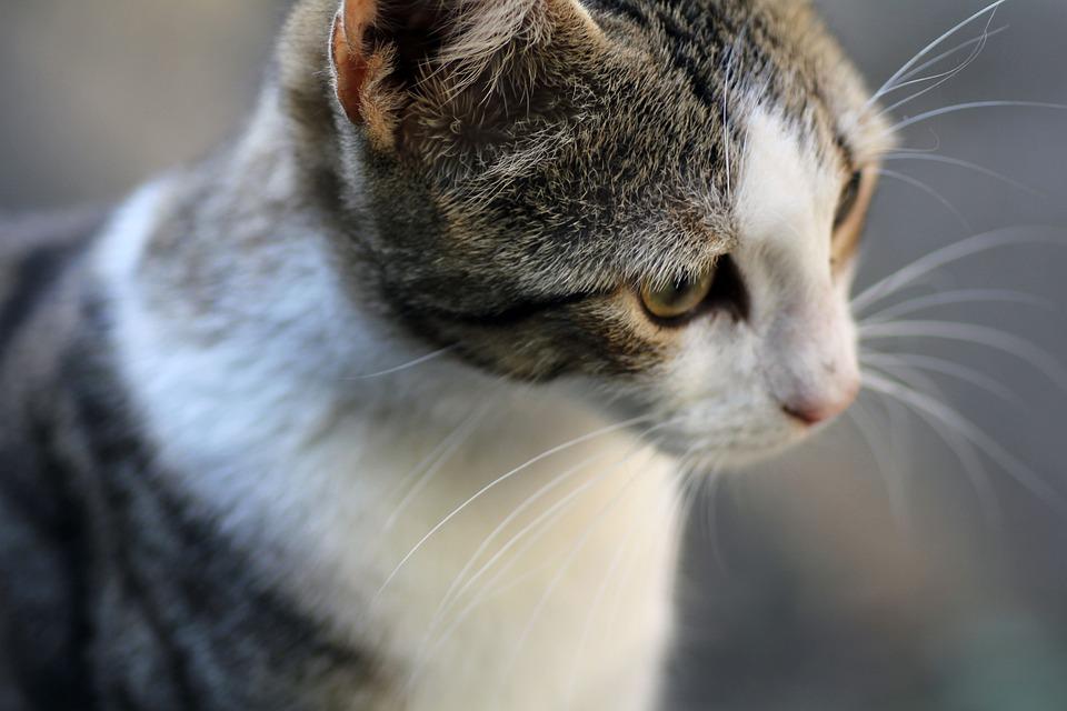 Cat Chaton Portrait Animal De - Photo gratuite sur Pixabay