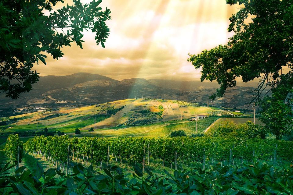 Vineyard, Grapes, Green, Screw, Fruit, Grapevine