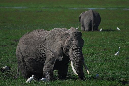 Elephants, Egrets, Africa, Portrait