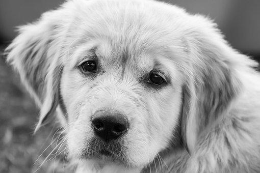 800 Free Golden Retriever Dog Images Pixabay