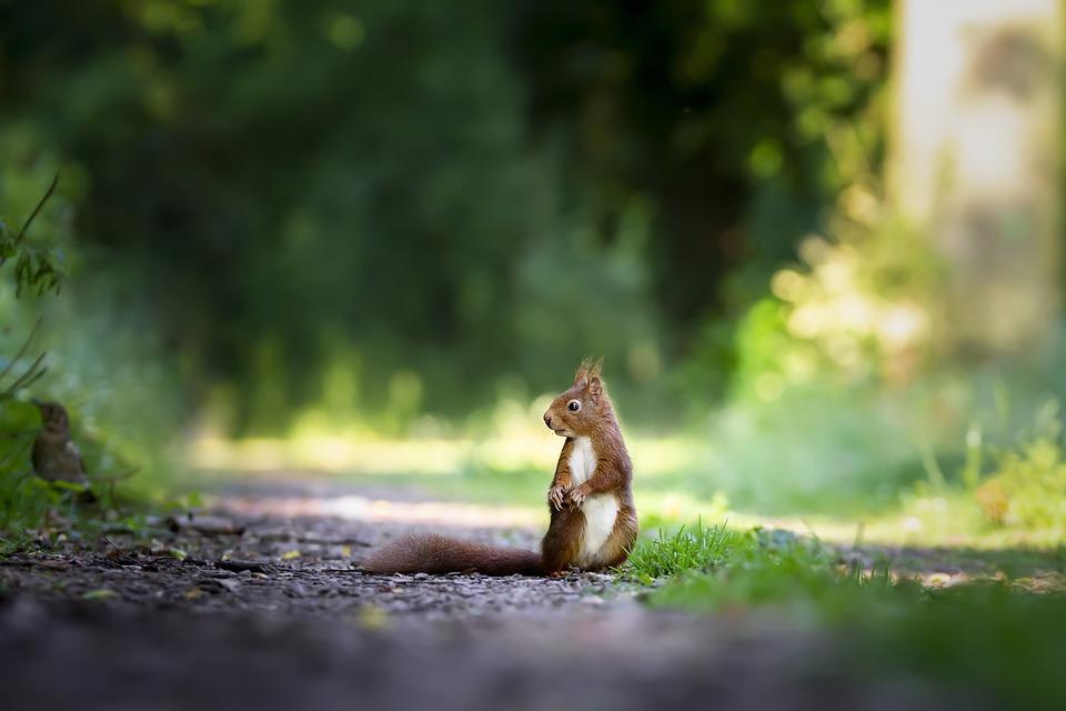 リス, 自然, かわいい, 野生, 哺乳類