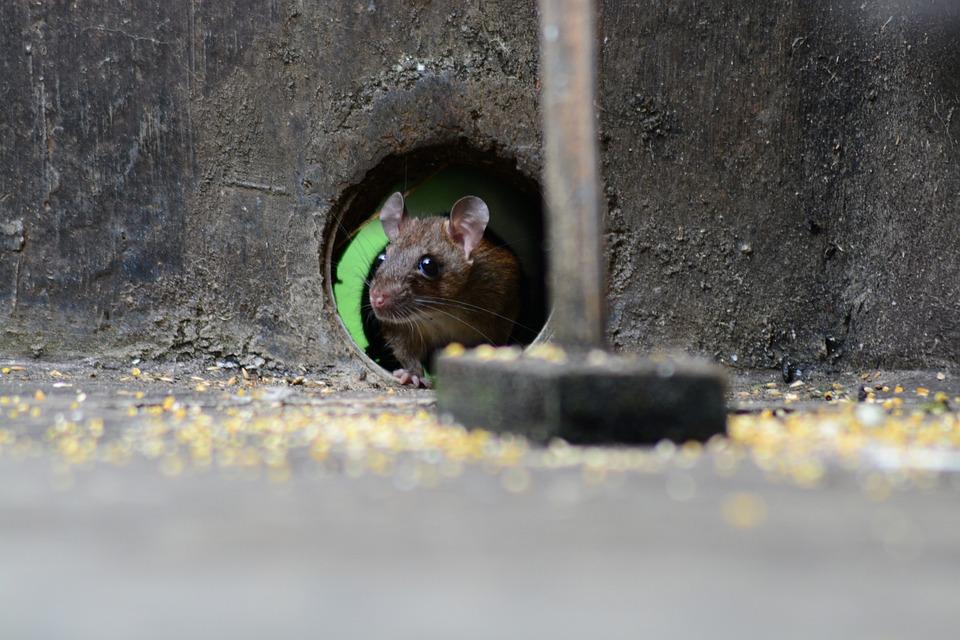 Мишка, Плъх, Гризачи, Животните, Вредителите, Сладък