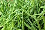 szczypior, cebula, zielony
