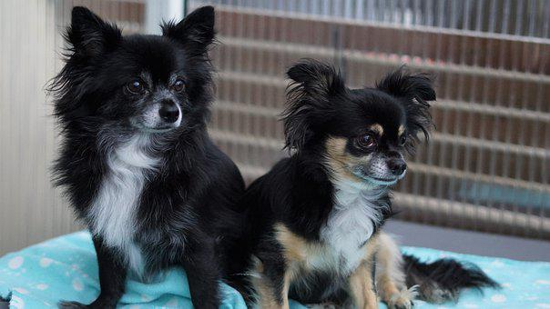Duo, Two, Chihuahua, Dogs, Small, Sweet
