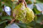 kasztan, jesienią, owoc kasztanowca