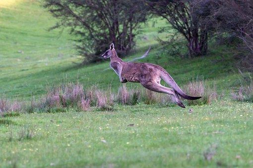 Kangaroo, Eastern Grey, Marsupial