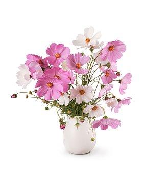 꽃다발, 화이트, Cosmea, 꽃, 핑크, 섬세 한, 가, 고립된