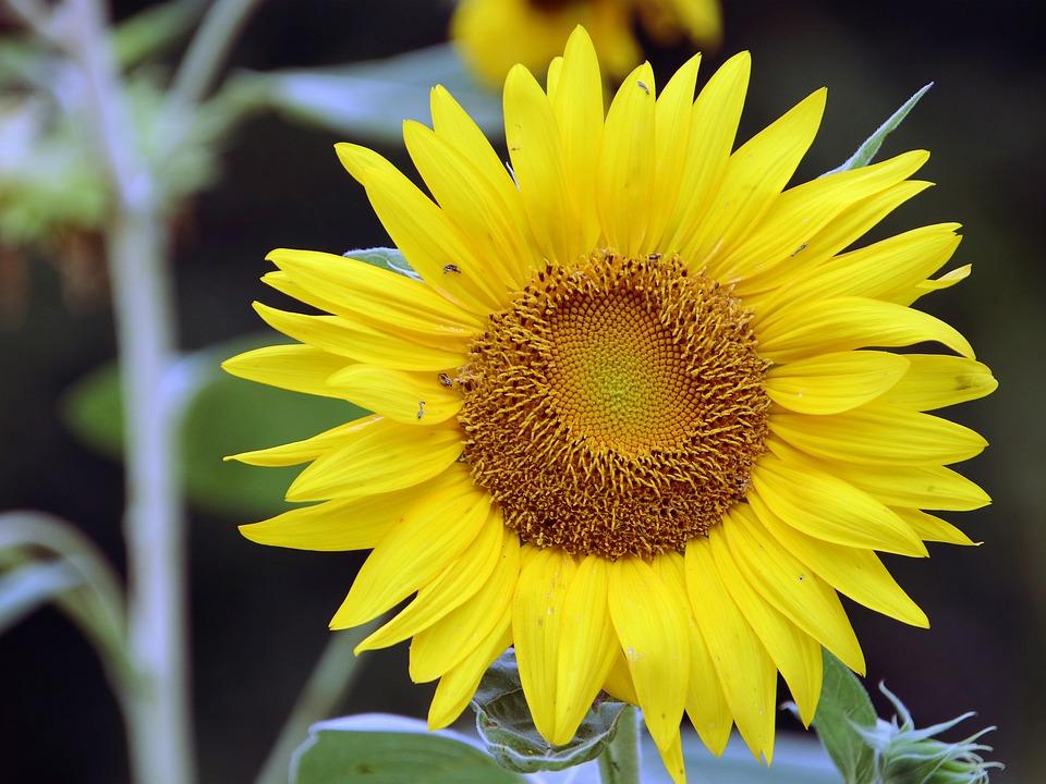 Fiori Gialli Tipo Girasoli.Girasoli Sun Flower Fiori Gialli Foto Gratis Su Pixabay