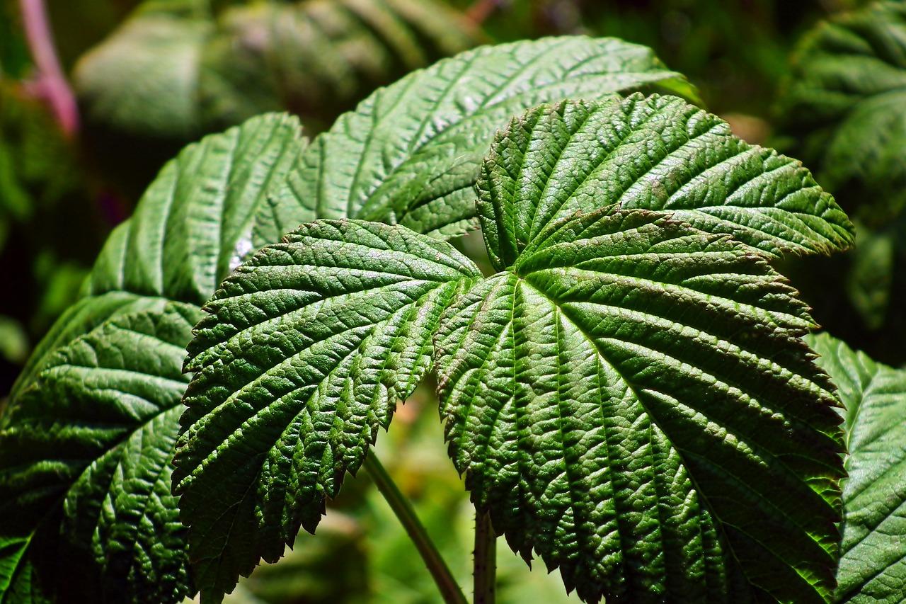 обитания лист малины фото связано