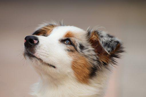 Dog, Puppy, Australian Shepherd, Small