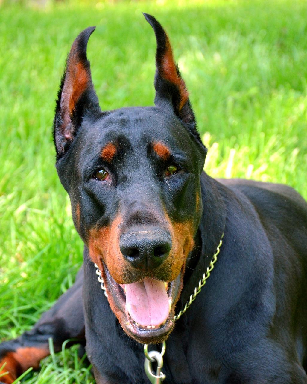 картинки собаки добермана пинчера уже несколько лет