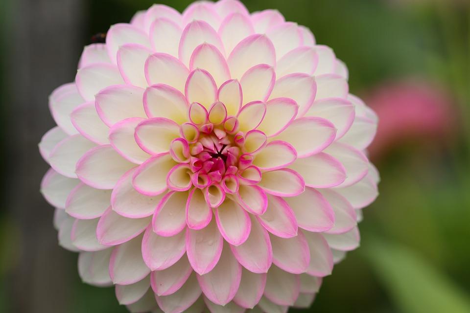 Dahlia, Fleur De Dahlia, Pétales, Rose, Blanc