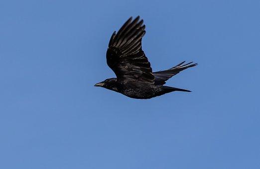 Duży czarny frajerów kogut