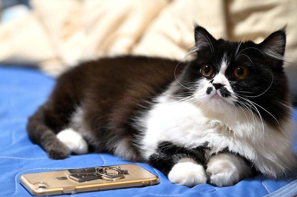 Cat, Pet, Cute, Animal, Adorable, Minuet Cat