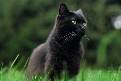Katze, Schwarze Katze, Haustier, Tier
