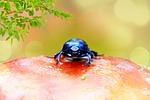 żuk leśny, owad, czułki