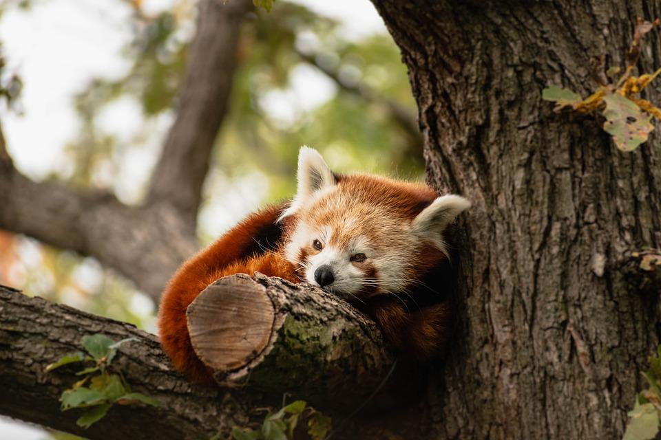 Animal, Panda, Red Panda, Bear, Zoo, Nature, Laziness