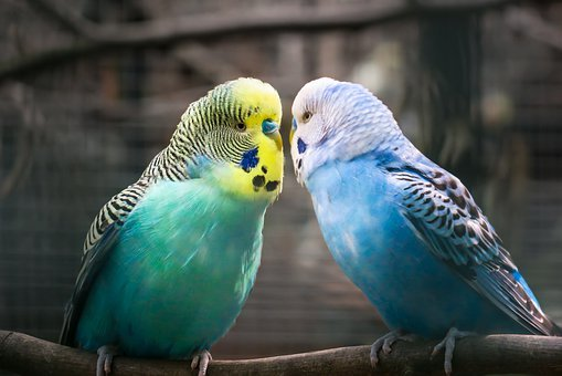 Budgie, Friendship, Affection, Love