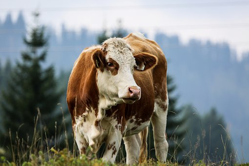 Cow, Alm, Simmental Cattle, Pasture
