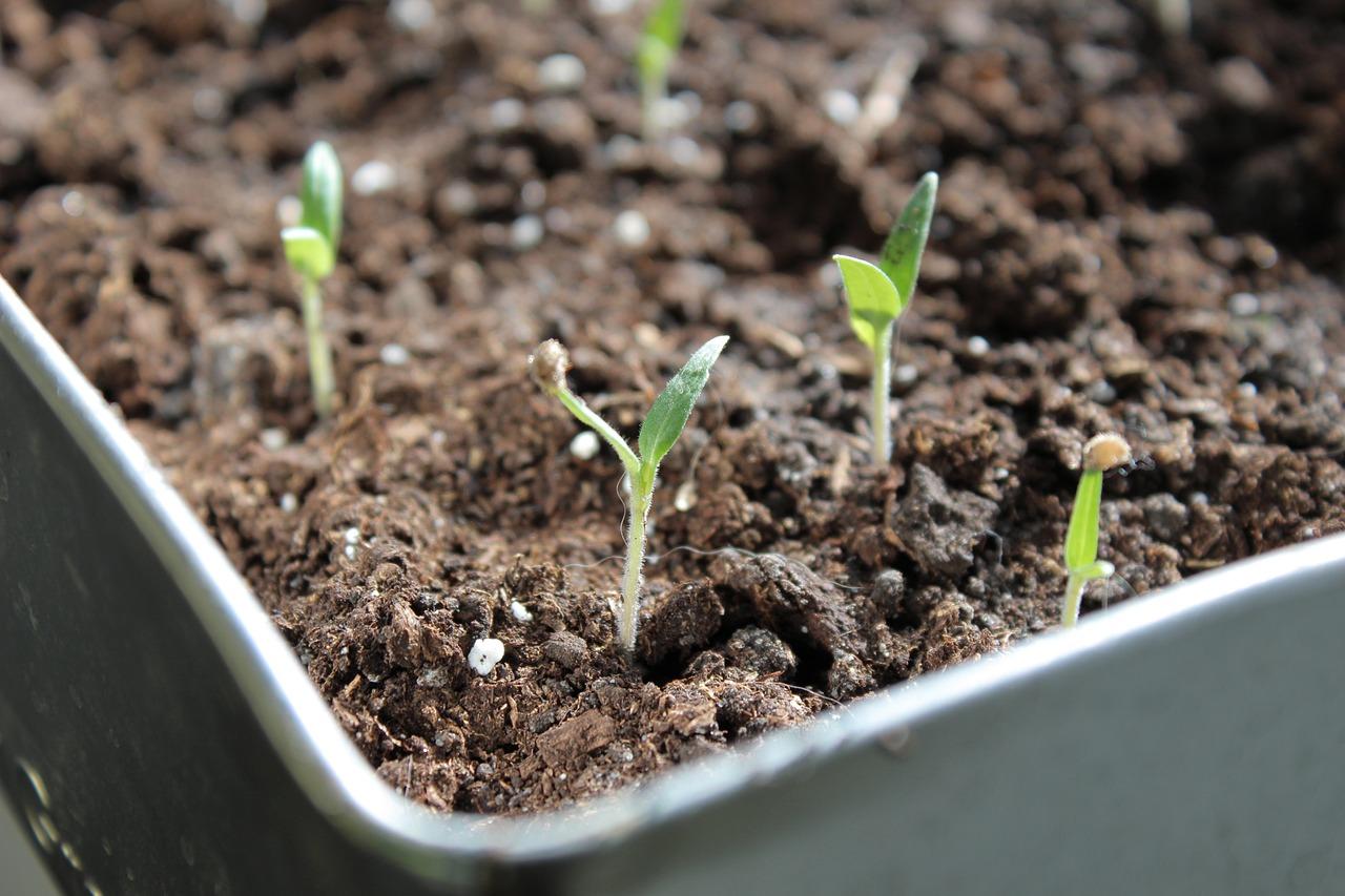Рассада Растение Помидоры - Бесплатное фото на Pixabay