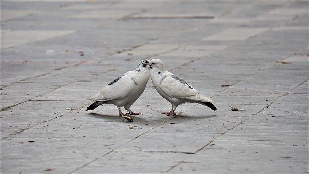 Kiss, Lovers, Lovebirds, White, Grey