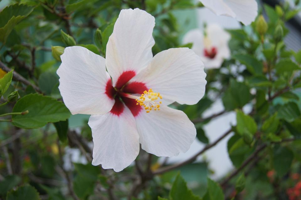 Flor, Flores, Flor De Cayena