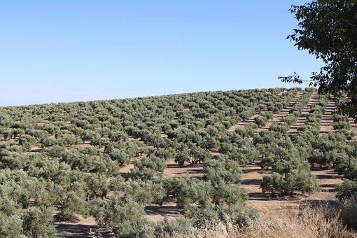 橄榄树, Martos, 哈恩, 西安大路, 西班牙, 天空, 农业, 橄榄
