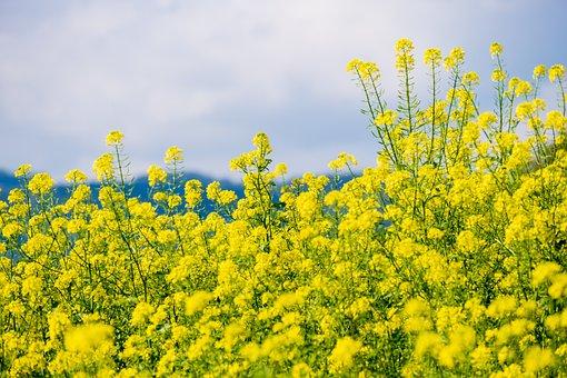 油菜, 黄色, 性质, 字段, 油菜籽场, 农业, 光明, 农村, 景观