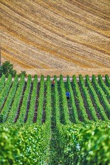 葡萄树, 香槟酒, 葡萄酒, 葡萄, 葡萄园, 法国, 葡萄栽培, 水果, 藤