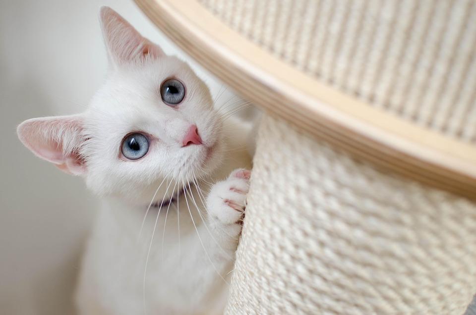 White, Kat, She-Cat, Mooie, Huis, Albino, Wonder